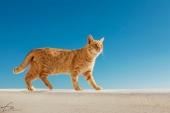 Oia_Santorini_Cat_948